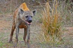 Bevlekte hyena (crocuta Crocuta) Stock Foto's