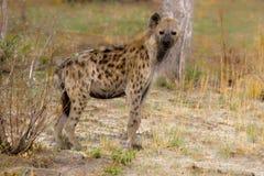 Bevlekte hyena (crocuta Crocuta) Royalty-vrije Stock Afbeeldingen