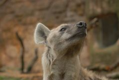 Bevlekte hyena - crocuta Crocuta Royalty-vrije Stock Foto