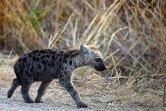 Bevlekte hyena (Crocuta-crocuta) welp Stock Fotografie