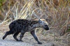 Bevlekte hyena (Crocuta-crocuta) welp Stock Foto's