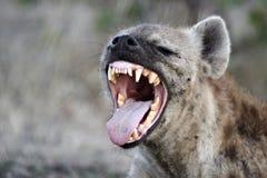 Bevlekte hyena (crocutacrocuta) stock foto's