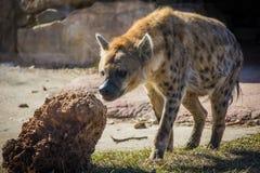 Bevlekte hyena die naar prooi dichtbij zijn hol dicht omhoog zoeken Stock Afbeeldingen