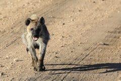 Bevlekte Hyena die naar u lopen stock foto's