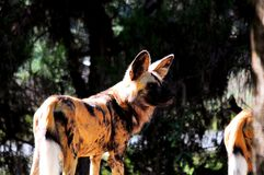 Bevlekte hyena in dierentuin Royalty-vrije Stock Foto's