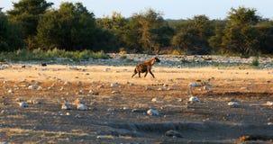 Bevlekte hyena, Etosha, het de safariwild van Namibië Afrika stock video
