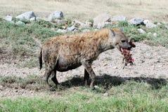 Bevlekte hyena met bloedig stuk van prooi in zijn mond stock afbeeldingen
