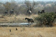Bevlekte Hyena met zebra Stock Afbeeldingen