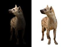 Bevlekte hyena op de donkere en witte achtergrond Royalty-vrije Stock Afbeelding