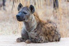 Bevlekte Hyena op het vooruitzicht stock foto's