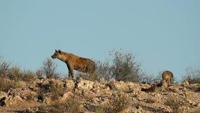 Bevlekte hyena's stock footage