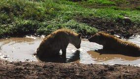 Bevlekte Hyena's van Ndutu-het drinken stock footage