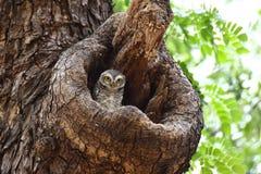 Bevlekte jonge uilen Royalty-vrije Stock Fotografie