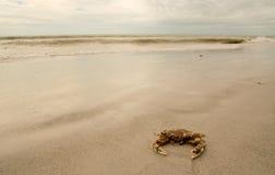 Bevlekte Krab op strand Royalty-vrije Stock Afbeeldingen