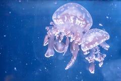 Bevlekte kwallen die in het aquarium zwemmen Royalty-vrije Stock Foto's