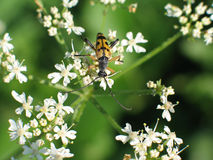 Bevlekte Longhorn-Kever, Rutpela-maculata royalty-vrije stock afbeeldingen