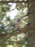 Bevlekte Notekraker die Pinus de Kegel van Cembra eten stock afbeeldingen