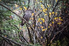 Bevlekte Notekraker Nucifraga caryocatactes vogel royalty-vrije stock fotografie