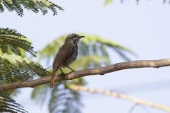 Bevlekte ochtend-lijster die op een acaciaboom in de schaduw zit Stock Afbeelding