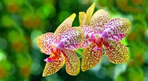 Bevlekte Orchideeën Stock Fotografie