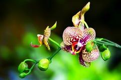 Bevlekte orchidee en knoppen royalty-vrije stock foto