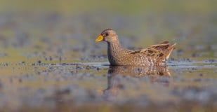 Bevlekte porzana van Crake - Porzana-- volwassen vogel Stock Foto