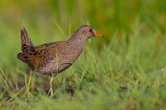 Bevlekte porzana van Crake - Porzana-- volwassen vogel royalty-vrije stock afbeelding