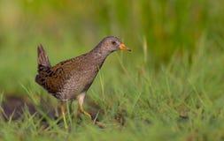 Bevlekte porzana van Crake - Porzana-- volwassen vogel stock foto's