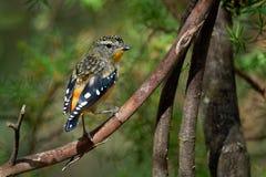 Bevlekte punctatus kleine Australische vogel van Pardalote - Pardalotus-, mooie kleuren, in het bos in Australië, Tasmanige stock foto's