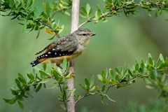 Bevlekte punctatus kleine Australische vogel van Pardalote - Pardalotus-, mooie kleuren, in het bos in Australië, Tasmanige stock afbeelding