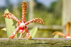 Bevlekte rode en gele orchidee Mokara Stock Afbeeldingen
