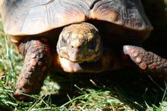 Bevlekte schildpad van rood en geel stock fotografie
