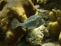 Bevlekte Trunkfish Stock Fotografie