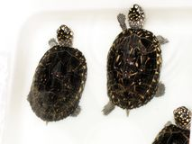 Bevlekte Vijver Turtleï ¼ Geolemys hamiltoniiï ¼ Royalty-vrije Stock Fotografie
