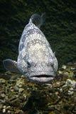 Bevlekte vissen royalty-vrije stock fotografie