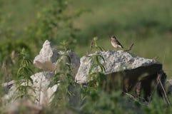 Bevlekte Vliegenvanger die (Muscicapa-striata) op een rots rusten Stock Foto's
