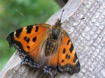 Bevlekte Vlinder Stock Foto's