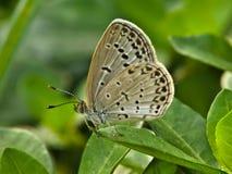 Bevlekte vlinder op blad royalty-vrije stock foto