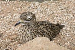 Bevlekte Vogel Dikkop onbeweeglijk royalty-vrije stock afbeeldingen