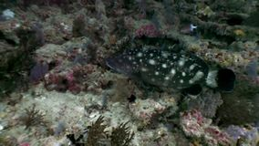 Bevlekte zwarte vissen die in koralen onderwater op achtergrond van zeebedding de Maldiven verbergen stock videobeelden