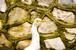 Bevore errante dell'uccello dell'airone guardabuoi un mettere il bastone tra le ruote Immagini Stock