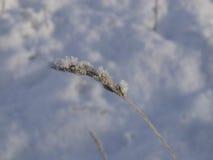 Bevroren aar in de sneeuw Royalty-vrije Stock Afbeeldingen