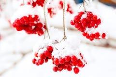 Bevroren ashberry Royalty-vrije Stock Foto