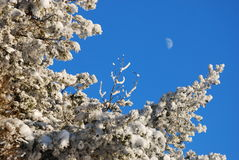 Bevroren bomen en maan Royalty-vrije Stock Afbeelding