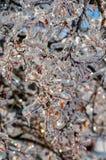 Bevroren boomtak met rode bessen - portretwijze Royalty-vrije Stock Foto