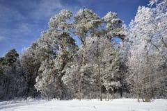 Bevroren bos Stock Afbeelding