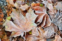 Bevroren de herfst natuurlijke dichte omhooggaande colorfull rode, groene, gele bladeren royalty-vrije stock foto