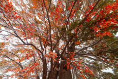 Bevroren de herfstbladeren op de beuktak Royalty-vrije Stock Afbeeldingen