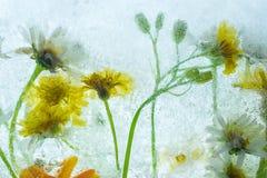 Bevroren de zomerbloemen in een highkey backlight stock afbeelding