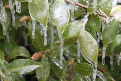 Bevroren die bladeren in ijs worden ingepakt Stock Fotografie
